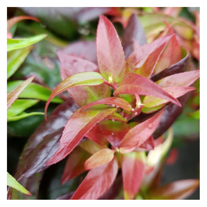 Leucothoe dark diamond