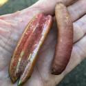 Microcitrus Alstonvile, finger-lime