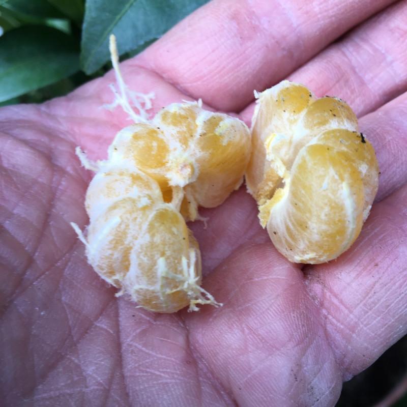 Citrus shikuwasa