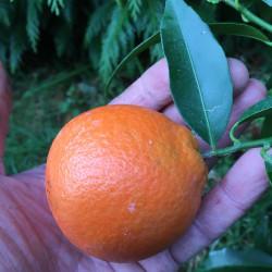 Citrus clementina SRA89