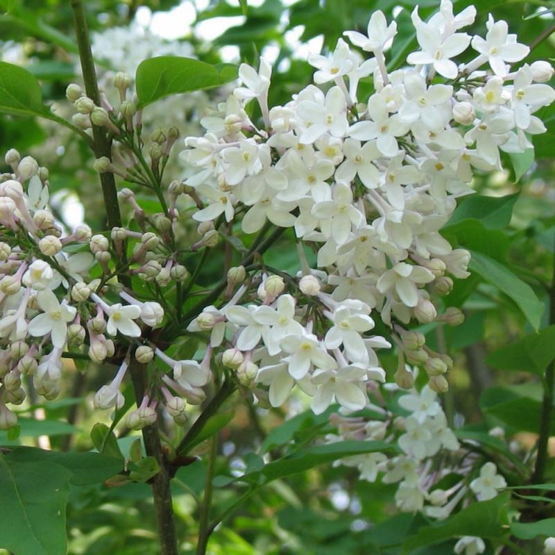 Syringa diversifolia