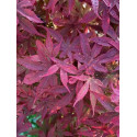 Acer palmatum little red