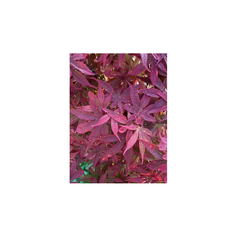 Acer palmatum little red
