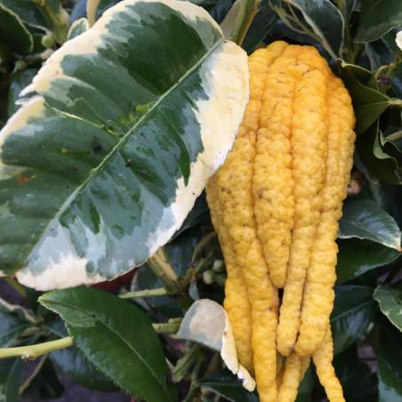 Citrus medica digitata variegata