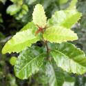 Schinus latifolius