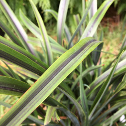 Phormium licorice and lime