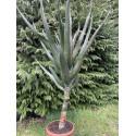 Aloe barberae