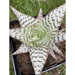 Aloe delta lights