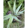 Aloe conifera twirls