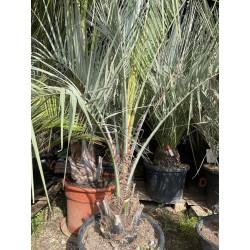 Butia catarinensis (ex odorata)