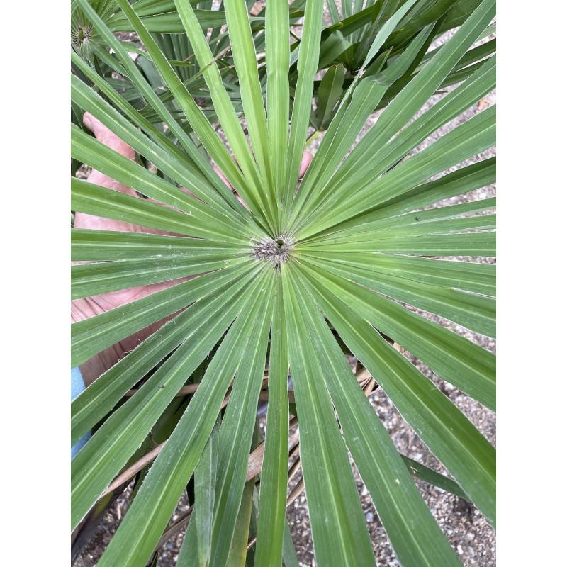Trachycarpus winsan