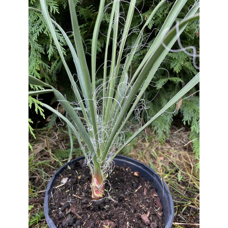Yucca coahuilensis