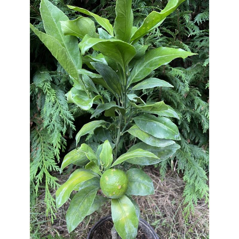 Citrus satsuma maxima