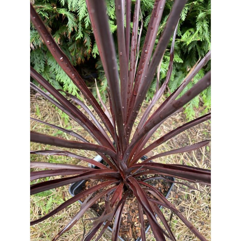 Cordyline australis 'little red star'®