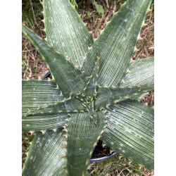 Aloe vogtsii