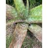Aloe menyharthii