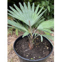 Trachycarpus princeps 4 l