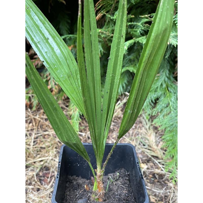 Trachycarpus nanus x nova