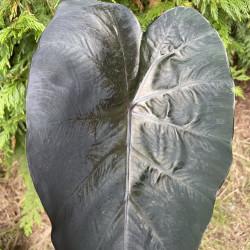 Colocasia painted black gecko®