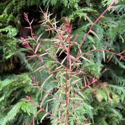 Acacia siculiformis