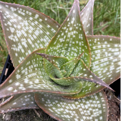 Aloe deltoideonta sparkler