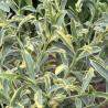 Philotheca myoporoides variegata