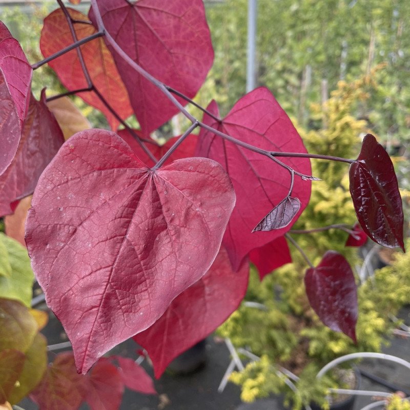 Cercis canadensis eternal flame
