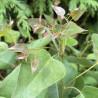 Eucalyptus Kaduri KKL