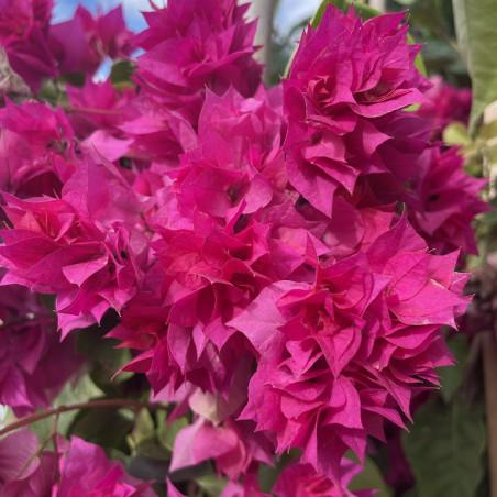 Bougainvillea fiore doppio