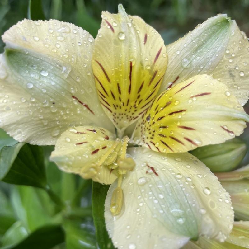 Alstroemeria inticancha spring valley®