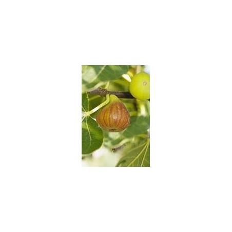 Ficus Madeleine des deux saisons