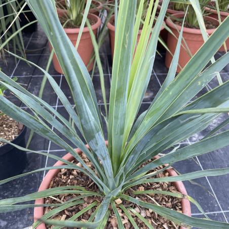 Yucca aloifolia x Yucca rostrata