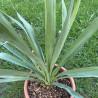 Yucca treculeana x Yucca rostrata