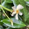 Trachelospermum chili & vanilla