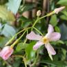 Trachelospermum rose d'Inde