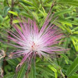 Calliandra dixie pink
