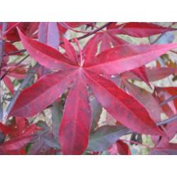 Acer palmatum red emperor