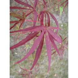 Acer scolopendrifolium