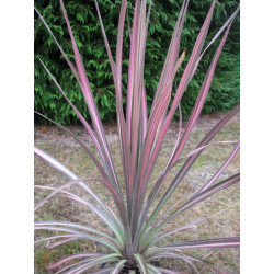 Cordyline 'coral'