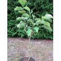 Magnolia 'hot flash' 7 l