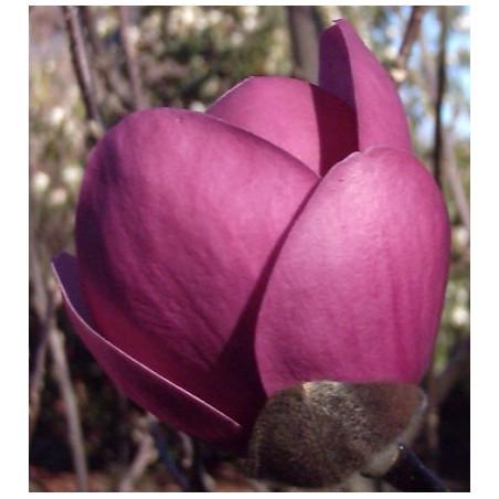 Magnolia sweet valentine