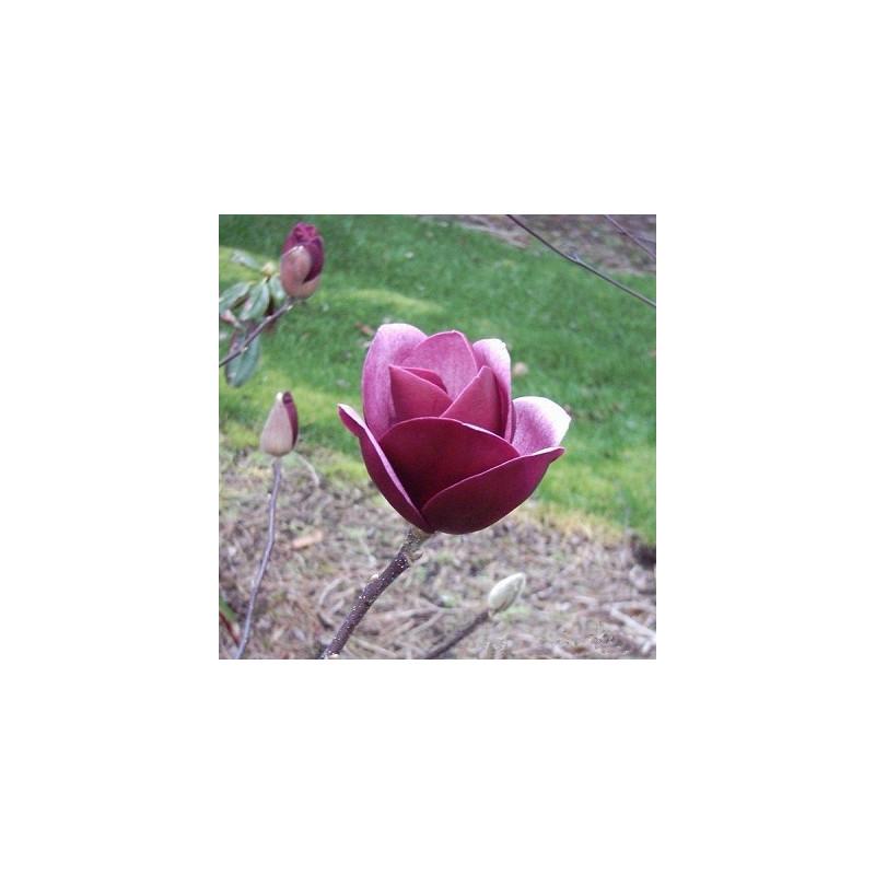 Magnolia 'sweet merlot'