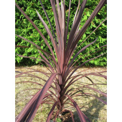 Cordyline 'black knight'