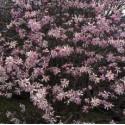 Magnolia 'Léonard Messel'