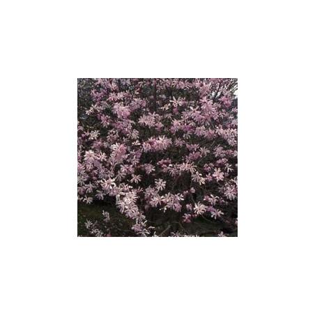 Magnolia Léonard Messel