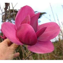 Magnolia Shirazz®