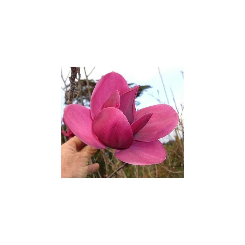 Magnolia 'Shirazz'®