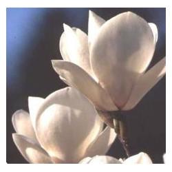 Magnolia sayonara