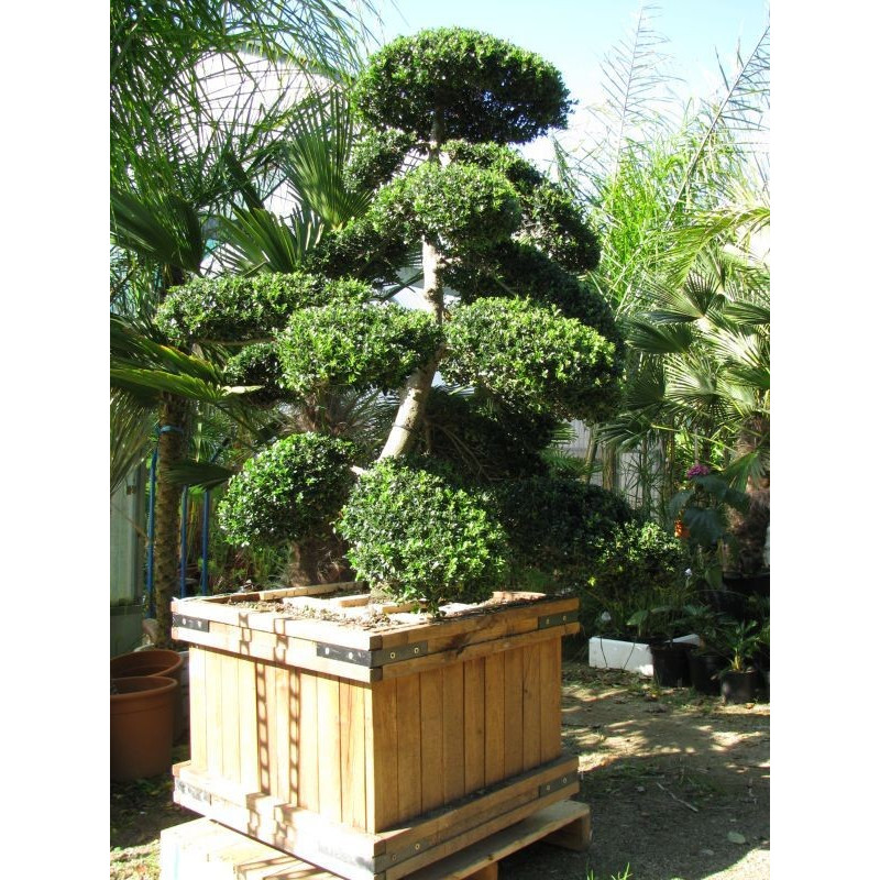 ilex crenata 39 kinme 39 arbre nuage japonais bonsa g ant. Black Bedroom Furniture Sets. Home Design Ideas