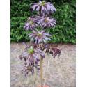 Aeonium arboreum 'Schwarzkopf' plant
